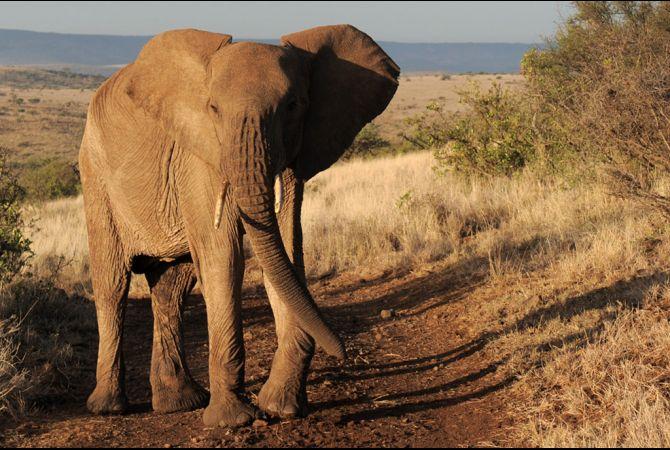 kenya-elephant-ivory-1-2011-4-6_0