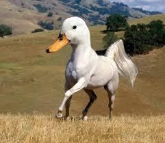 horse duck